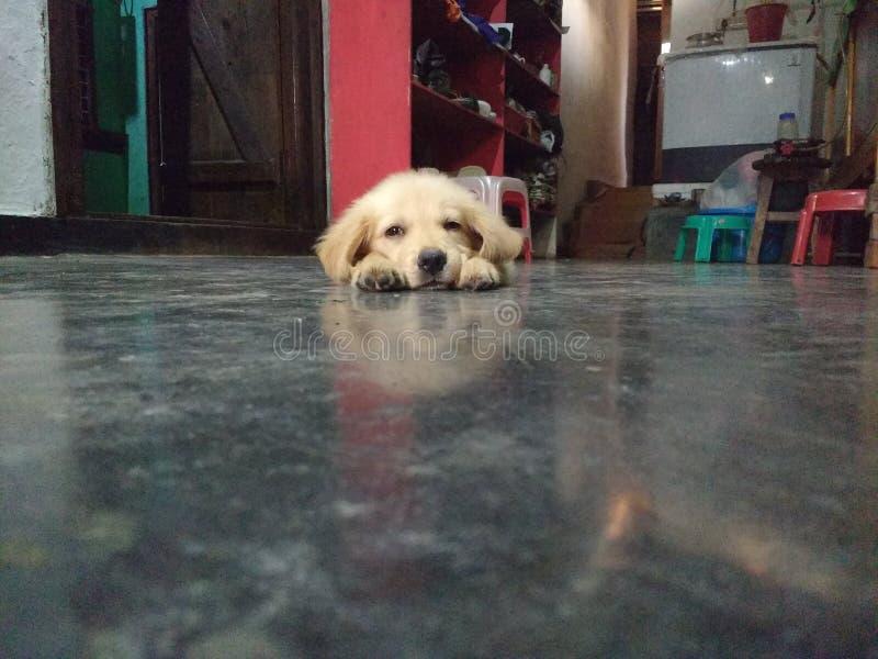 Filhote de cachorro bonito do Retriever dourado foto de stock
