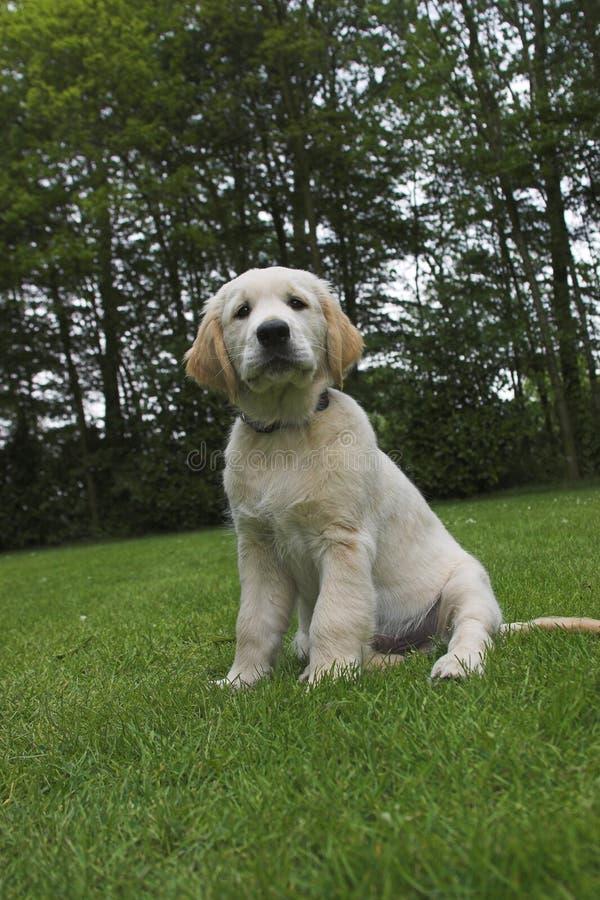 Filhote de cachorro bonito do Retriever dourado fotos de stock