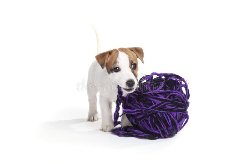 Filhote de cachorro bonito do terrier de russell do jaque imagem de stock