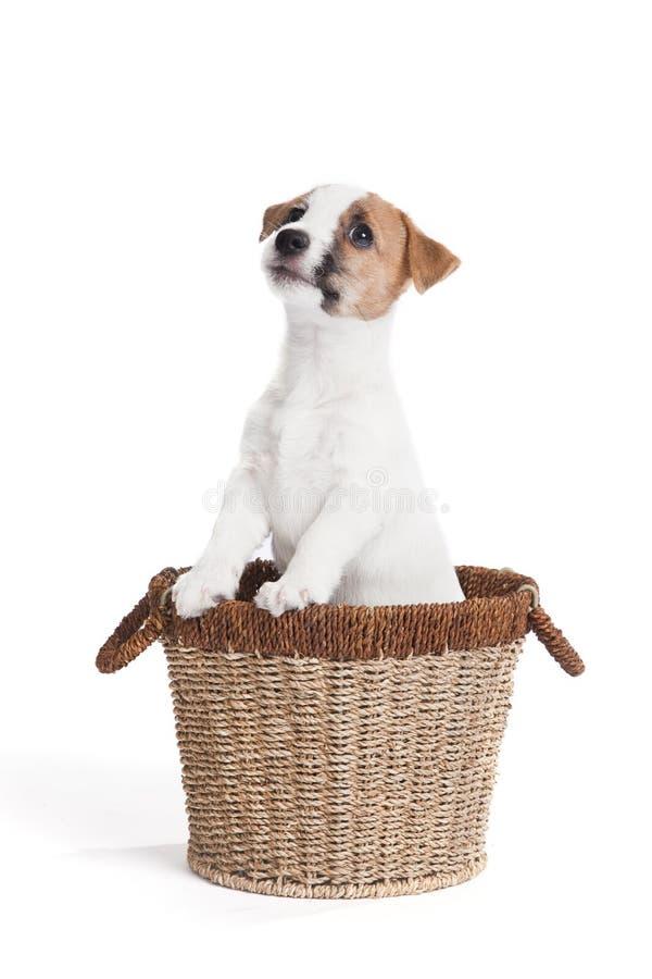 Filhote de cachorro bonito do terrier de russell do jaque imagens de stock royalty free