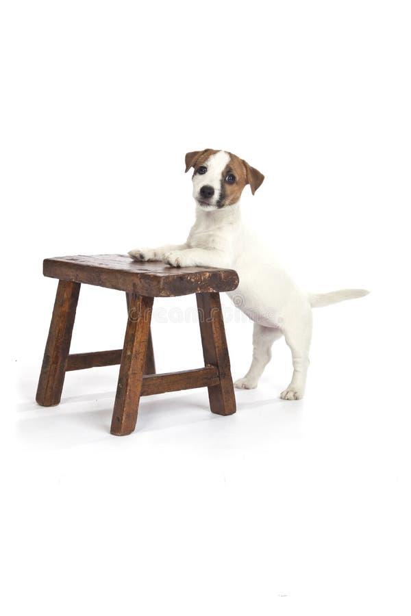 Filhote de cachorro bonito do terrier de russell do jaque fotos de stock