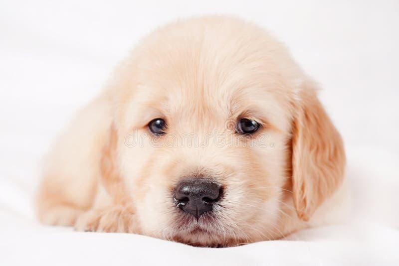 Filhote de cachorro bonito pequeno do retriever foto de stock