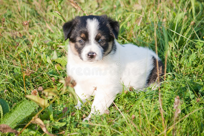 Filhote de cachorro branco foto de stock royalty free