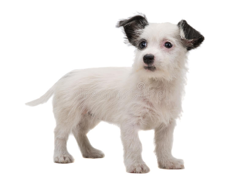 Filhote de cachorro branco fotos de stock