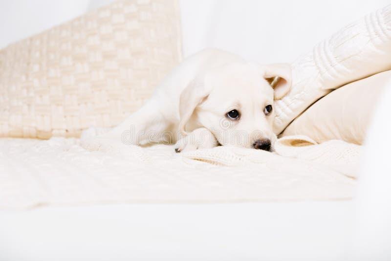 Filhote de cachorro branco cansado que encontra-se no sofá fotografia de stock