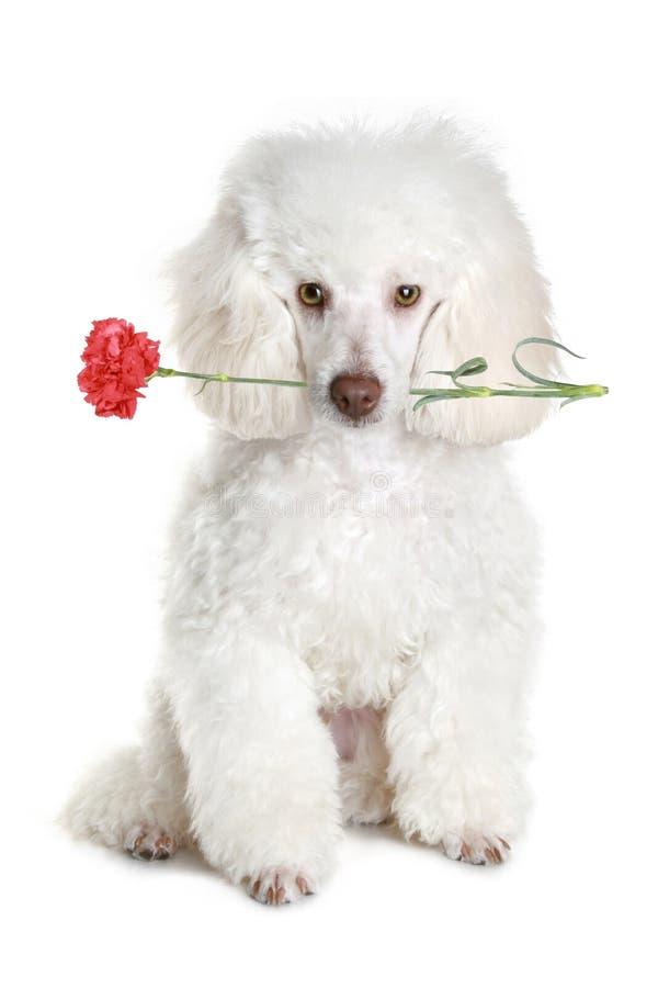 Filhote de cachorro branco da caniche com flor vermelha imagens de stock