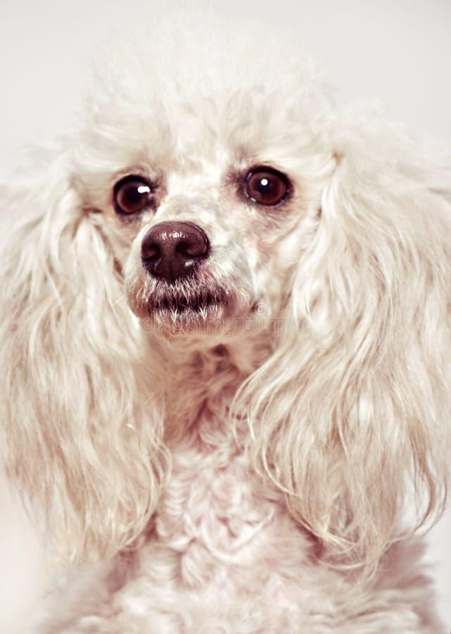 Download Filhote De Cachorro Branco Da Caniche Imagem de Stock - Imagem de poodle, engraçado: 29847207