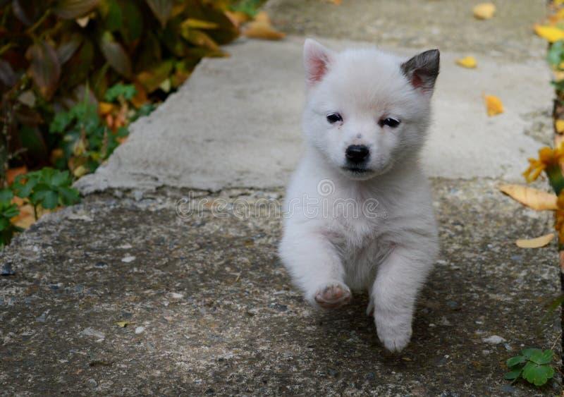 filhote de cachorro branco pequeno imagem de stock royalty free