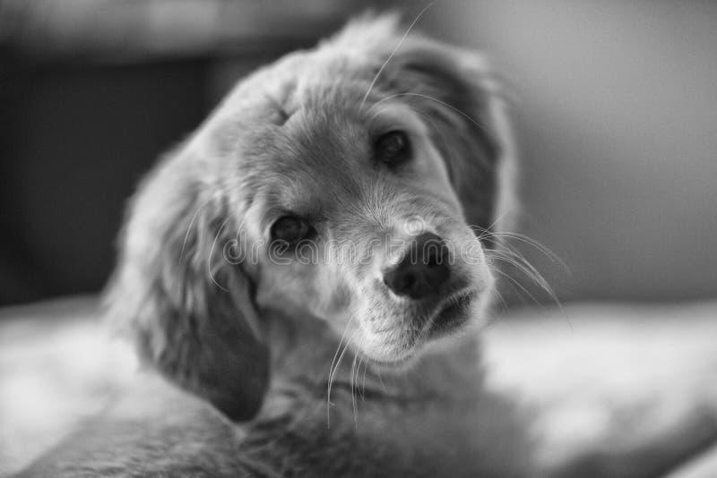 Filhote de cachorro brincalh?o O cachorrinho esperto está preparando-se para assentar bem em um guia para povos cegos fotografia de stock royalty free