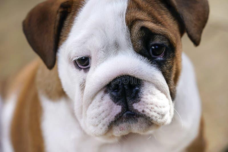 Filhote de cachorro britânico do buldogue fotografia de stock royalty free