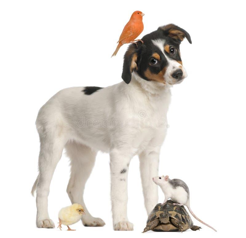 Filhote de cachorro, canário, pintainho, tartaruga e rato misturados da raça imagem de stock