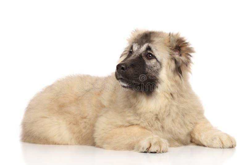 Filhote de cachorro caucasiano do pastor imagens de stock