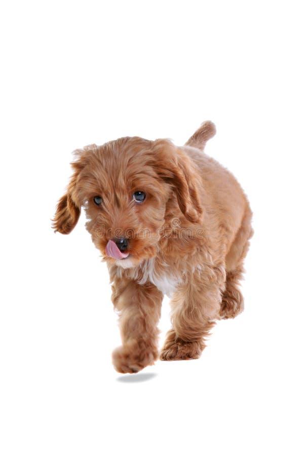 Filhote de cachorro Cockapoo isolado no branco imagens de stock
