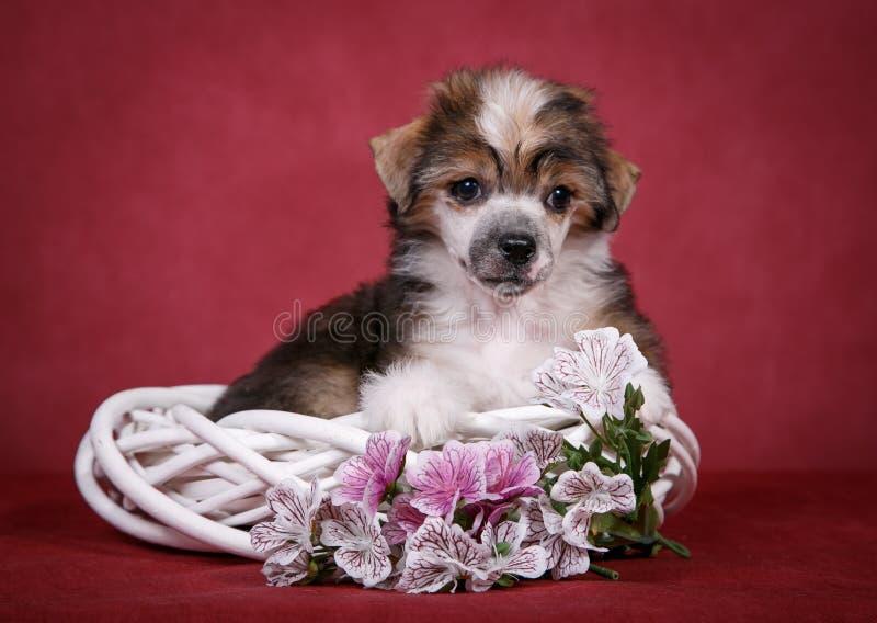 Download Filhote De Cachorro Com Crista Chinês Do Cão Foto de Stock - Imagem de chinês, animais: 65576842