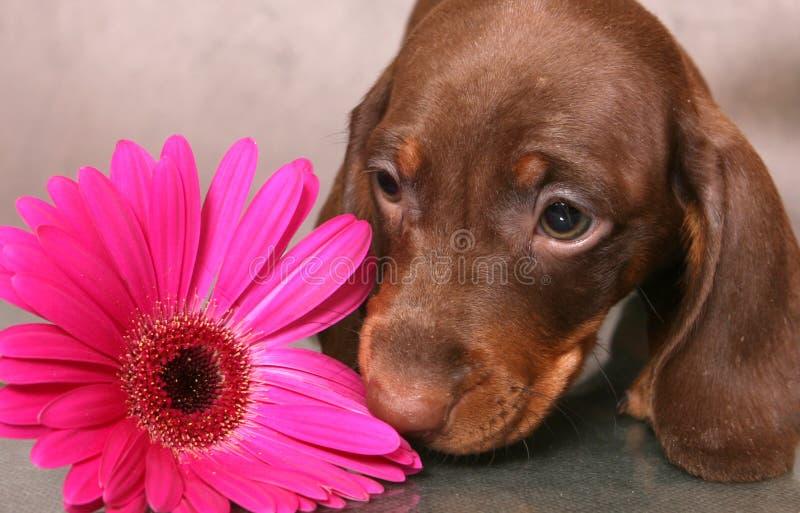 Filhote de cachorro com flor fotos de stock royalty free