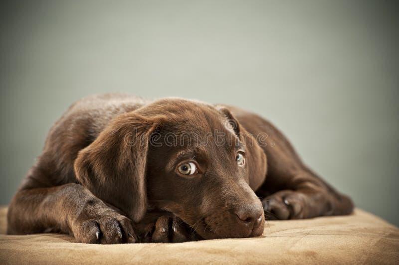 Filhote de cachorro com olhar da piedade fotos de stock