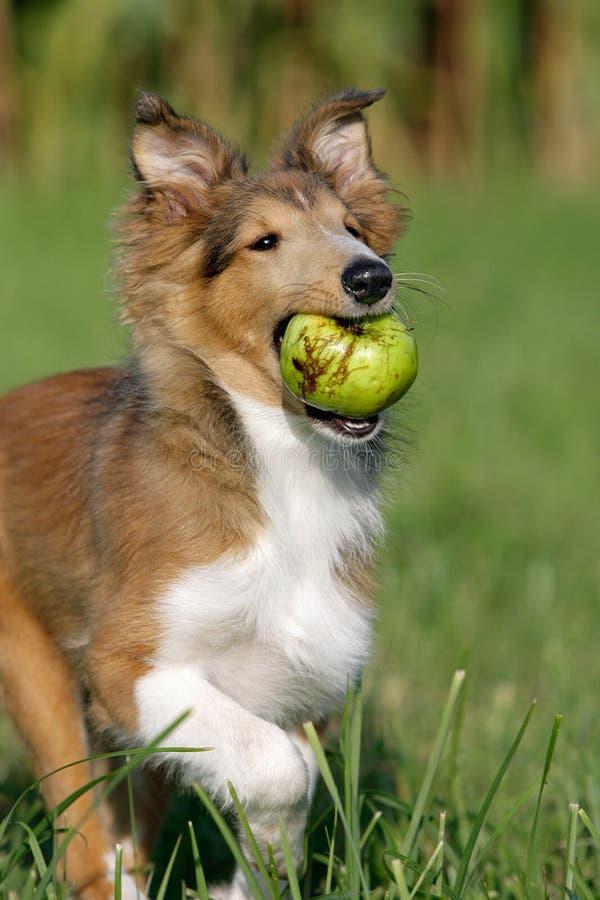 Filhote de cachorro com uma maçã fotografia de stock