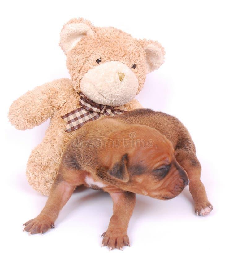Filhote de cachorro com urso de peluche fotografia de stock royalty free