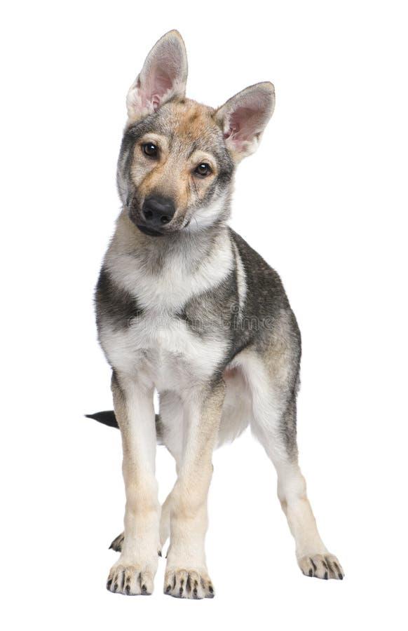 Filhote de cachorro Czechoslovakian de Wolfdog (3 meses) imagem de stock