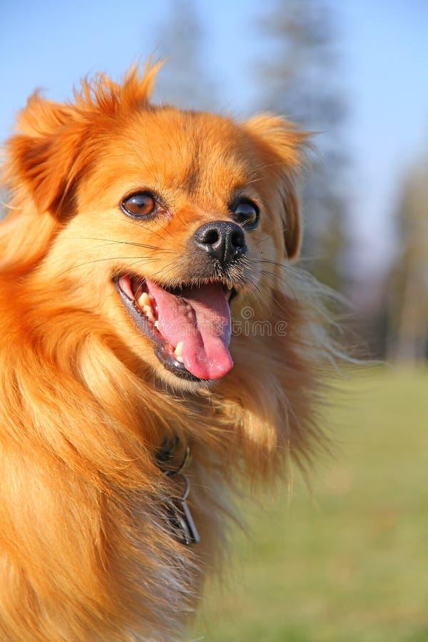 Filhote de cachorro da ânsia imagem de stock royalty free