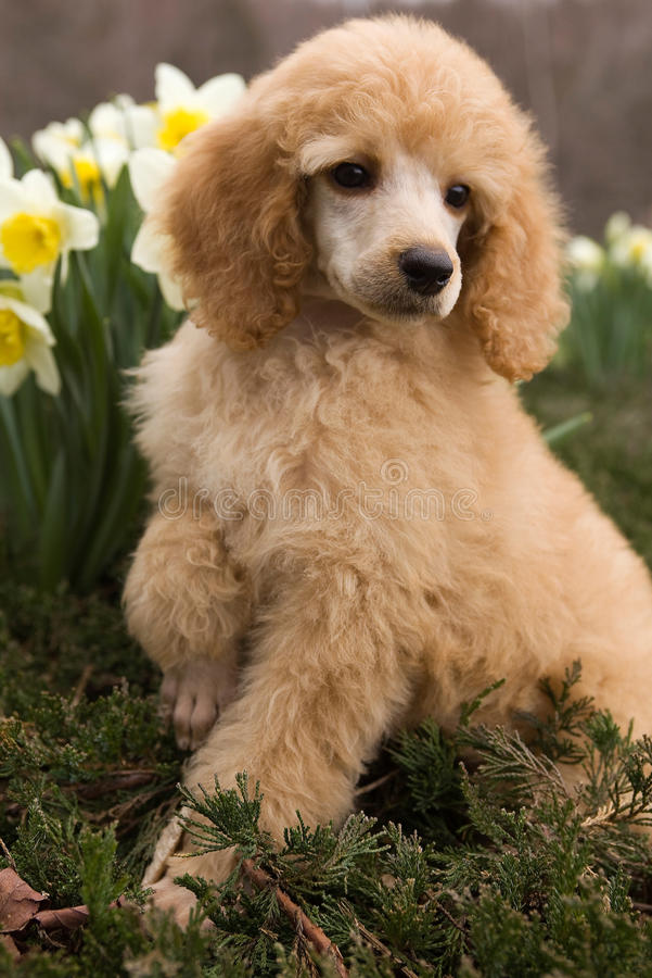 Filhote de cachorro da caniche foto de stock