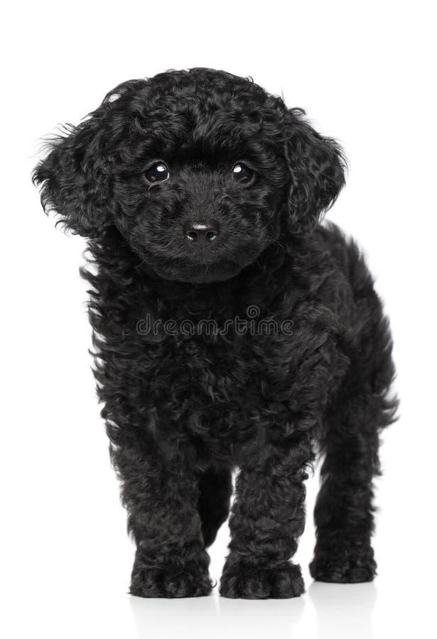 Filhote de cachorro da caniche de brinquedo sobre o fundo branco fotos de stock royalty free