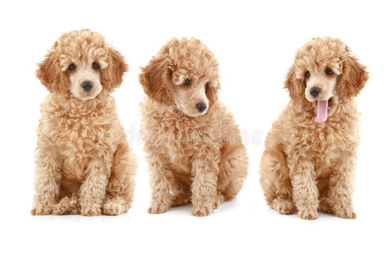 Filhote de cachorro da caniche de três alperces imagem de stock royalty free