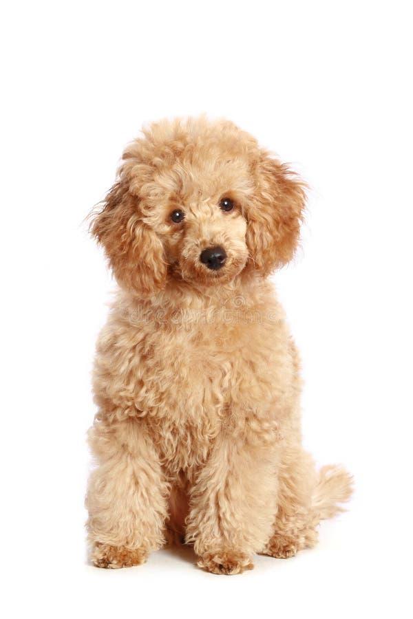 Filhote de cachorro da caniche do alperce foto de stock