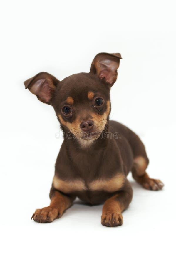 Filhote de cachorro da chihuahua fotos de stock royalty free
