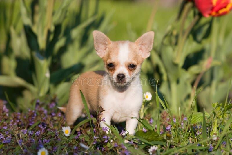Filhote de cachorro da chihuahua com flores imagem de stock