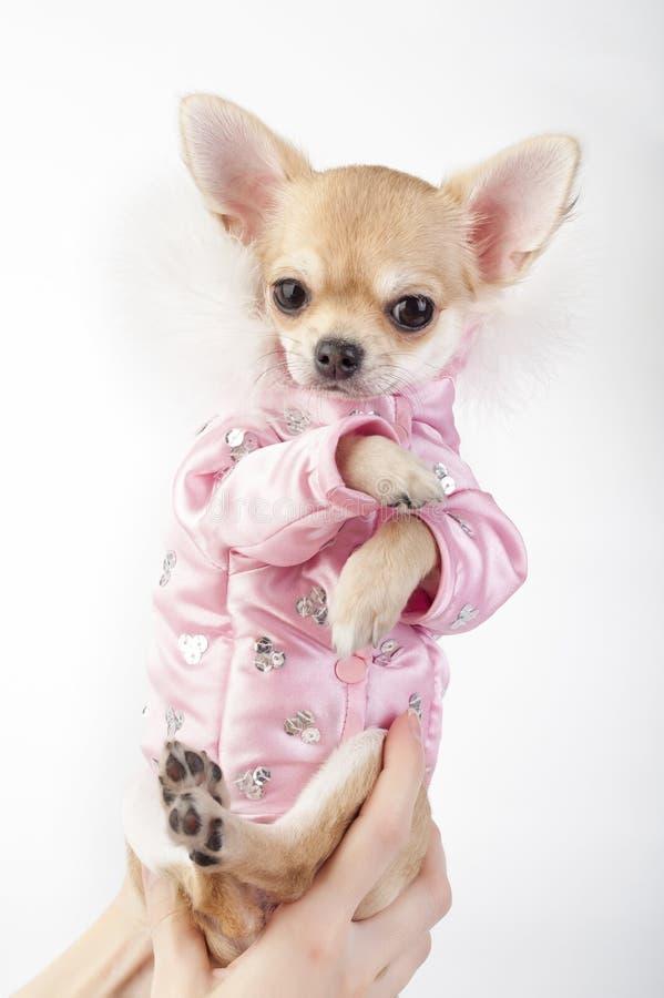 Filhote de cachorro da chihuahua do encanto que desgasta o revestimento cor-de-rosa fotografia de stock