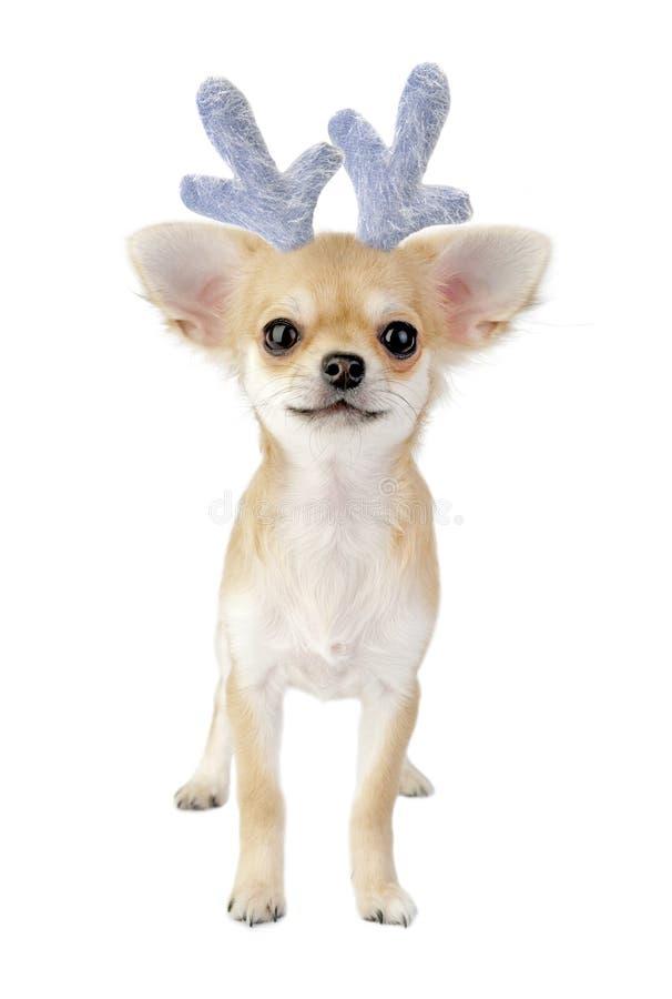 Filhote de cachorro da chihuahua do Natal - rena isolada fotos de stock royalty free