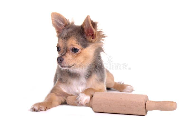Filhote de cachorro da chihuahua que cozinha com pino do rolo imagens de stock