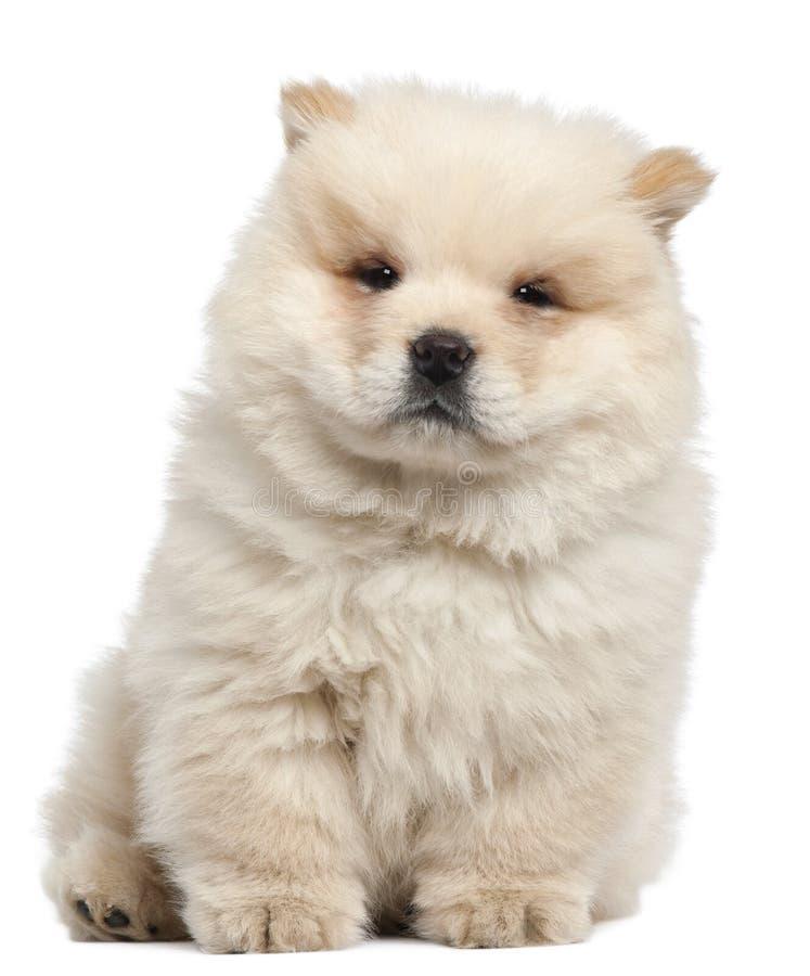 Filhote de cachorro da comida da comida, 11 semanas velho, sentando-se imagem de stock royalty free