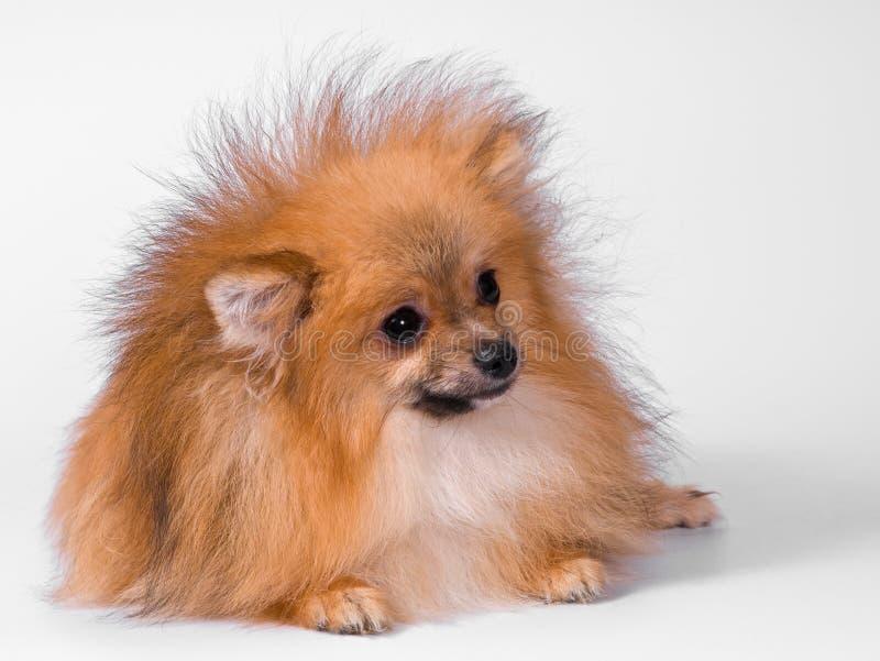 Filhote de cachorro da raça um spitz-cão de Pomeranian fotos de stock royalty free