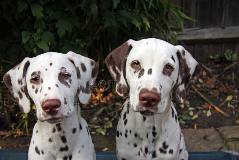 Filhote de cachorro Dalmatian fotografia de stock
