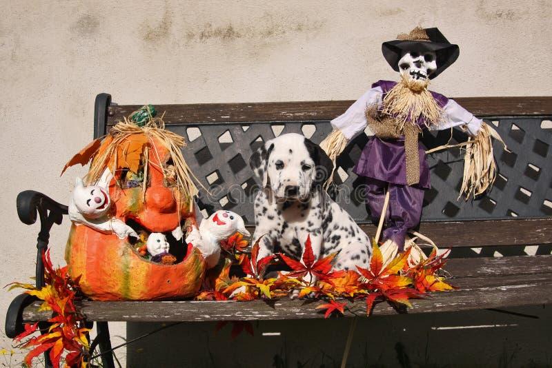 Filhote de cachorro Dalmatian com a correcção de programa na decoração de Halloween foto de stock royalty free