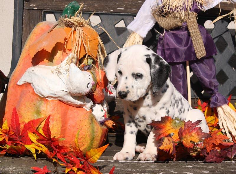 Filhote de cachorro Dalmatian na decoração de Halloween imagem de stock