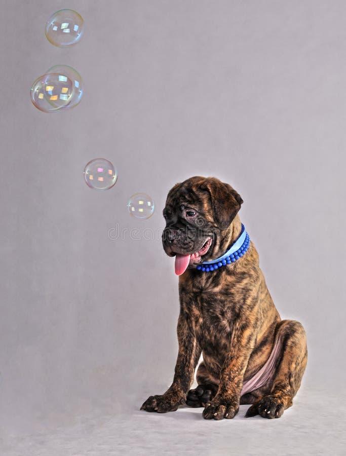 Filhote de cachorro das bolhas de sabão imagem de stock