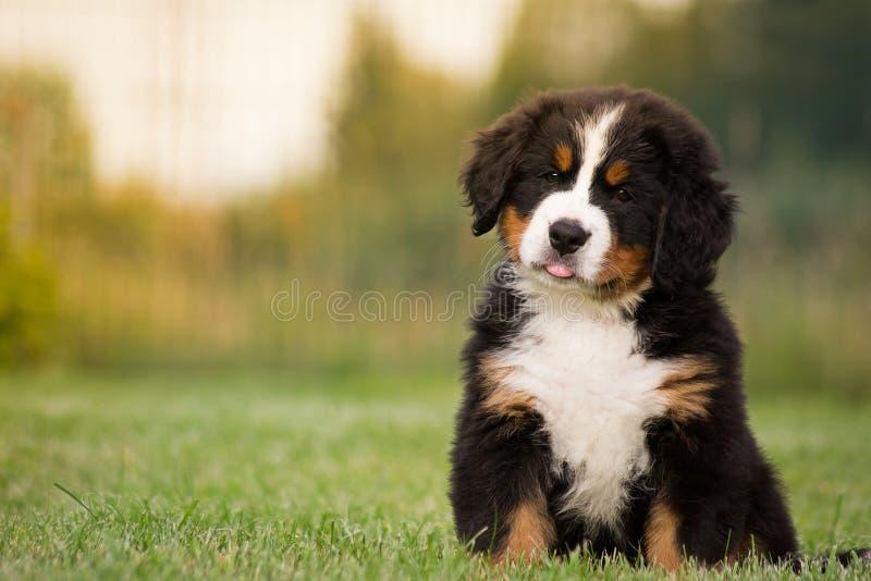 Filhote de cachorro de Bernese imagens de stock