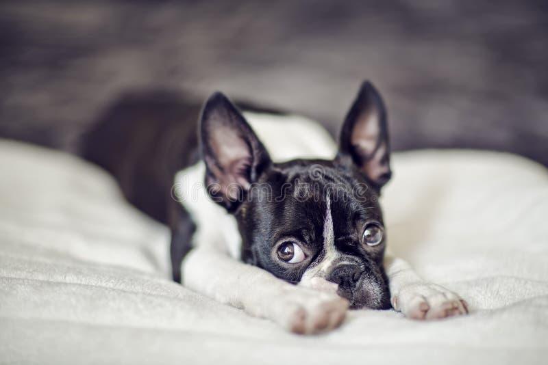 Filhote de cachorro de Boston Terrier fotografia de stock royalty free