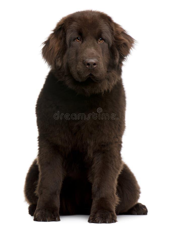 Filhote de cachorro de Brown Terra Nova, 10 meses velho, sentando-se imagem de stock royalty free