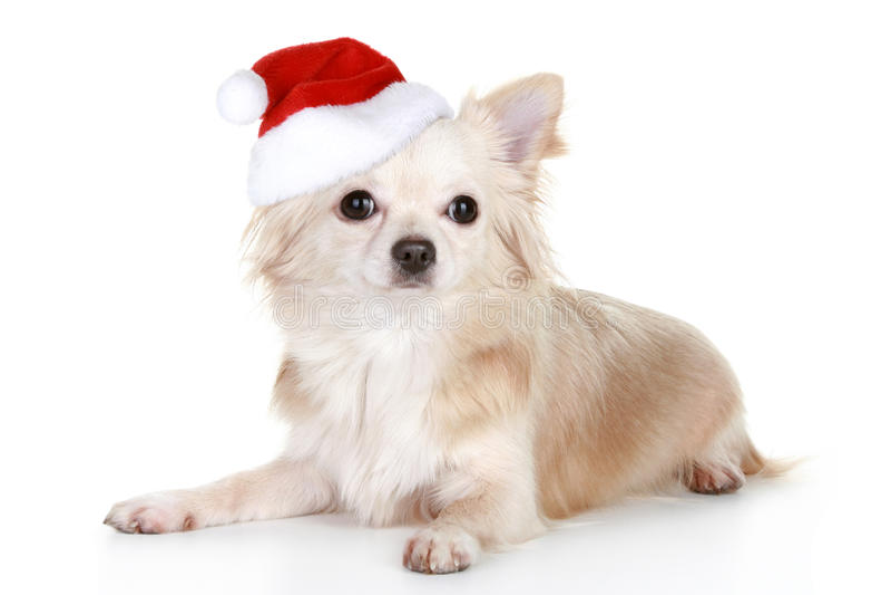 Filhote de cachorro de cabelos compridos da chihuahua no tampão do Natal foto de stock royalty free
