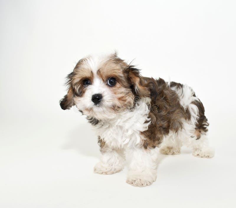 Filhote de cachorro de Cavachon imagens de stock