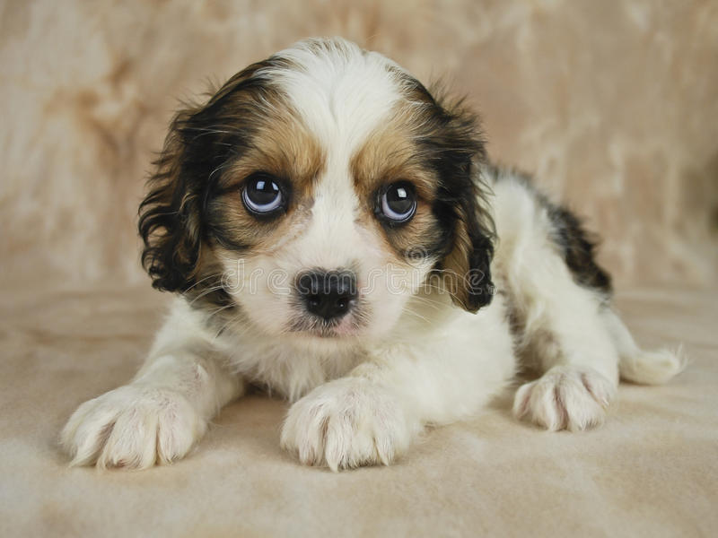 Filhote de cachorro de Cavachon imagens de stock royalty free