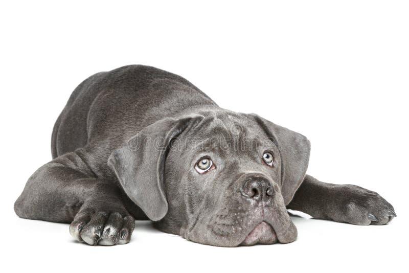 Filhote de cachorro de Corso do bastão que encontra-se em um fundo branco fotografia de stock