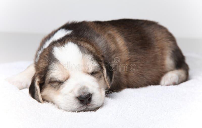 Download Filhote De Cachorro De Descanso Pequeno Foto de Stock - Imagem de doggy, pouco: 12808866