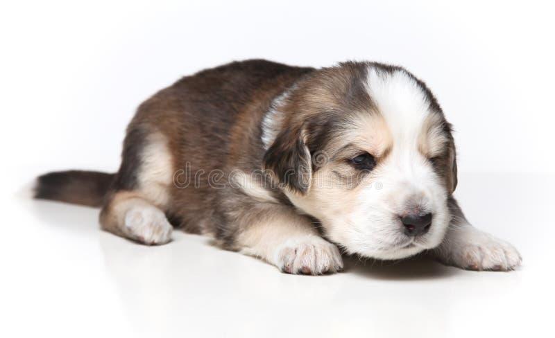 Download Filhote De Cachorro De Descanso Pequeno Imagem de Stock - Imagem de doméstico, retrato: 12808883