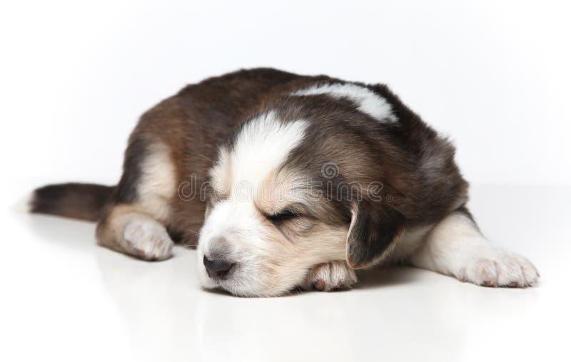 Download Filhote De Cachorro De Descanso Pequeno Foto de Stock - Imagem de pele, adormecido: 12808888