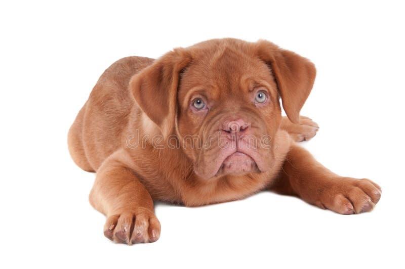 Filhote de cachorro de dogue de Bordéus imagens de stock